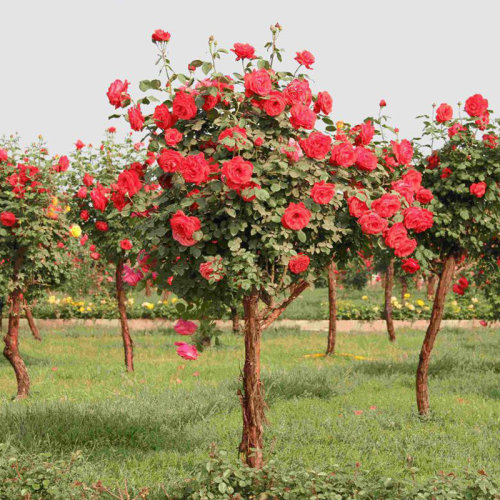 100Pcs Red Rose Tree Seeds DIY Home Garden Potted Balcony Yard Flower Plant