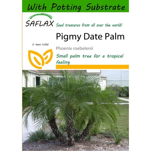 Saflax  - Pigmy Date Palm - Phoenix Roebelenii - 25 Seeds - with Potting Substrate for Better Cultivation