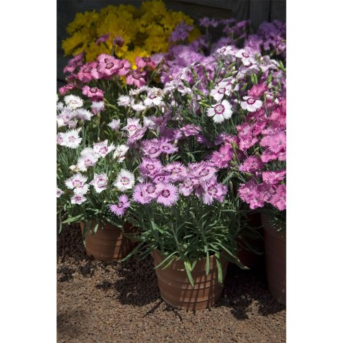 Flower - Dianthus Plumaris - Sweetness Mixed - 50 Seeds