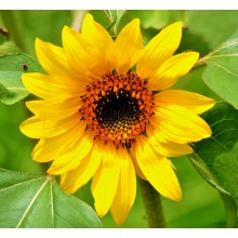 30 Autumn Beauty Sunflower Seeds | Helianthus Annuus Seeds