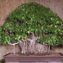150pcs Bonsai Seeds