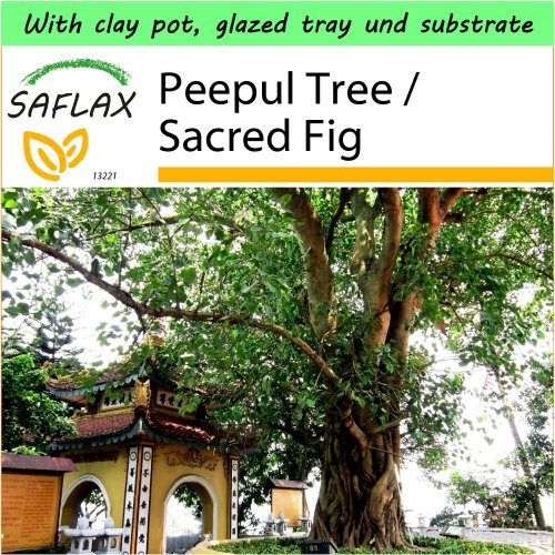SAFLAX Garden to Go - Peepul Tree / Sacred Fig - Ficus - 100 seeds