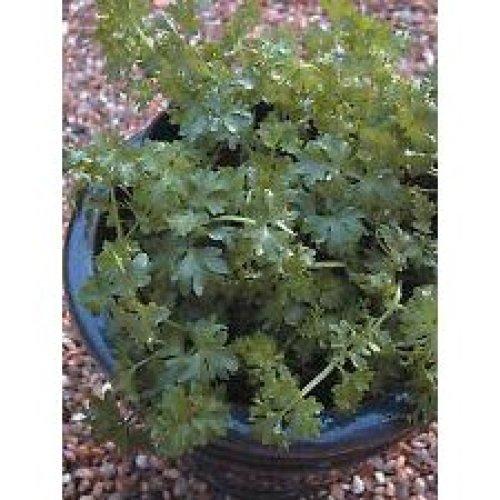 Herb - Par-cel - Apium graveolens - 500 Seeds