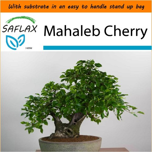SAFLAX Garden in the Bag - Bonsai - Mahaleb Cherry - Prunus - 30 seeds