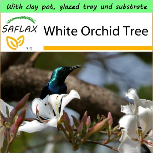 SAFLAX Garden to Go - White Orchid Tree - Bauhinia - 5 seeds