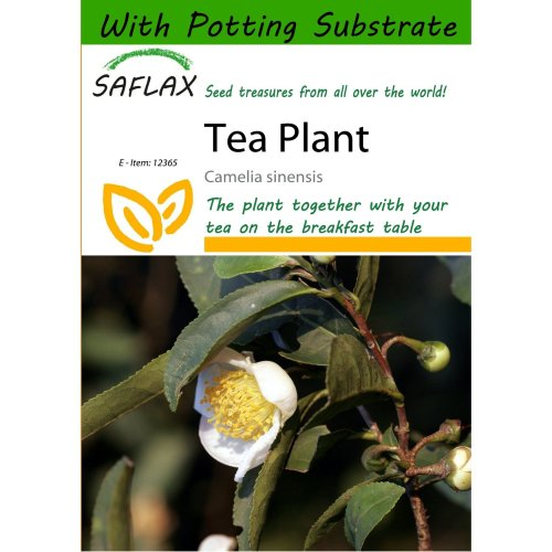 Saflax  - Tea Plant - Camelia Sinensis - 6 Seeds - with Potting Substrate for Better Cultivation