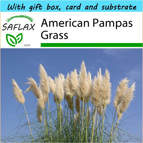 SAFLAX Gift Set - American Pampas Grass - Cortaderia selloana - 200 seeds - With gift box, card, label and potting substrate