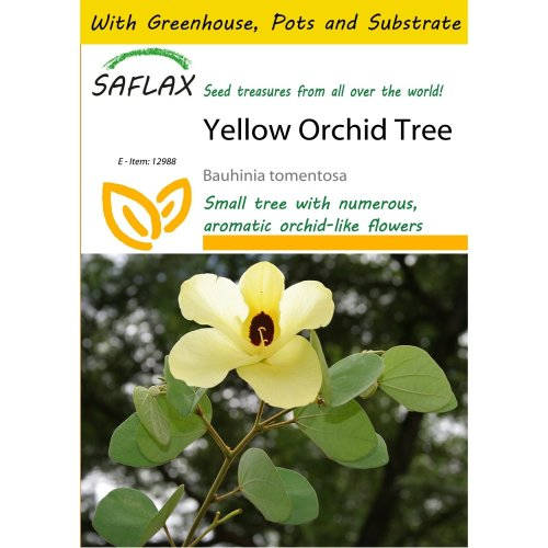 Saflax Potting Set - Yellow Orchid Tree - Bauhinia Tomentosa - 30 Seeds - with Mini Greenhouse, Potting Substrate and 2 Pots