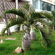 Egrow 20Pcs Exotic Bottle Palm Seeds