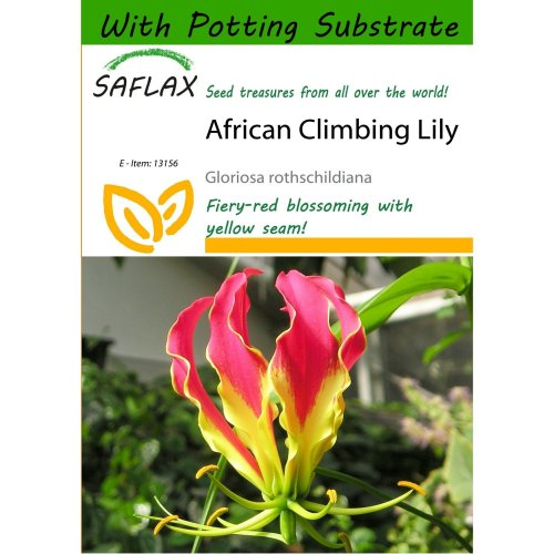 Saflax  - African Climbing Lily - Gloriosa Rothschildiana - 15 Seeds - with Potting Substrate for Better Cultivation