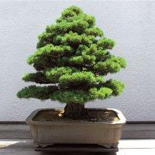20Pcs Japanese Cedar Semillas Bonsai Seeds Rare Tree Seeds for Home Garden