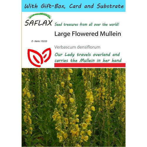 Saflax Gift Set - Large Flowered Mullein - Verbascum Densiflorum - 500 Seeds - with Gift Box, Card, Label and Potting Substrate